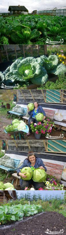 Выращивание капусты – полная технология, сроки, уход