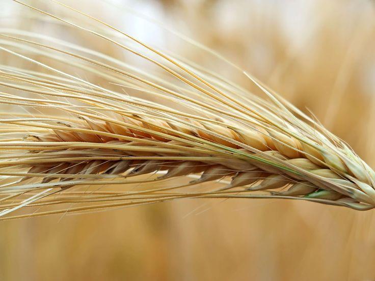 #agriculture #arable #background #barley #barley field #cereal #cereals #close #cornfield #crop #ear #field #field crops #flora #food #grain #green #grow #harvest #macro #mature #nourishing barley #plant #spike #summer #y