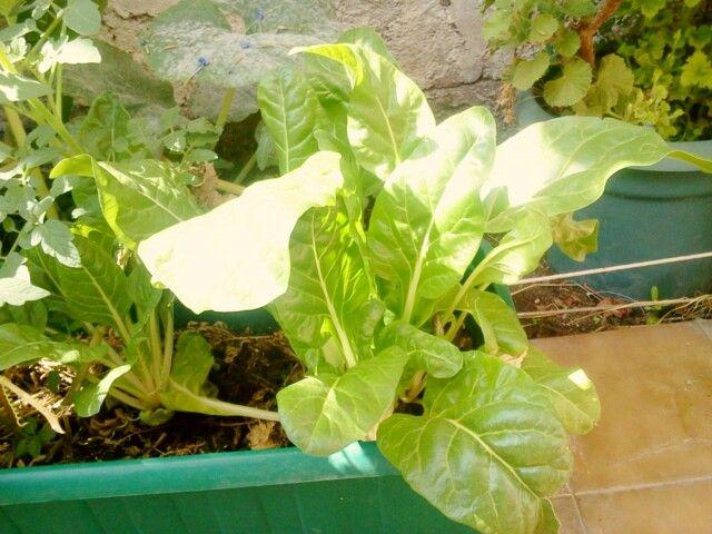 Huerta Urbana Acelga y Tomates