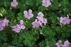 Geranium dalmaticum (Ooievaarsbek), sterke soort, blijft vrij laag, aromatisch, blad kleurt in herfst rood