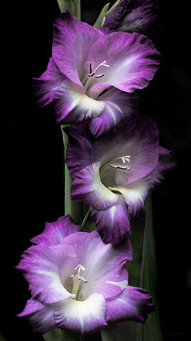 Purple Gladiola Flowers Evening Light Print By Jennie Marie Schell