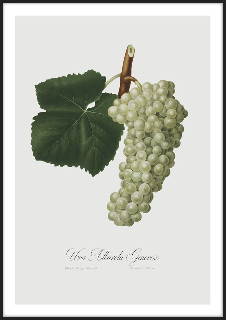 White Grapes, tavla från Insplendor tryckt med Giclée Fine Art Print-teknik