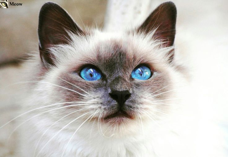 Cat blue eyes 😸 https://www.youtube.com/c/WeMeow #cat #cats #wemeow #meow #catlife #cutecat #catlove #lovecats #gatos #gatti #koty #katze #chats #kitty #kitten #kittens #lovecat #funnycat #cateye #beautifulcat #nicecat #amazingcat #catlooking #catofinstagram #catsoftumblr #catstagram #instapets #instacat #pet #pets