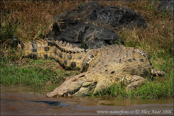 African Nile Crocodile | The Biggest African Nile Gustavo crocodile leads while the Crocodile ...