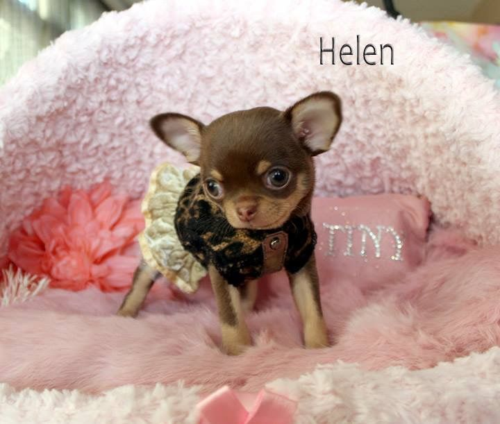 Pin By Brittany Rey On Doggies Chihuahua Puppies Cute Chihuahua