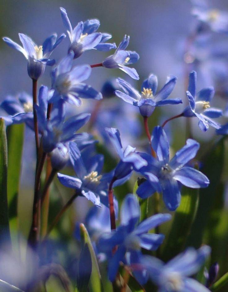De kleine, donker blauwe bloemetjes van de Chionodoxa sardensis of Sneeuwroem kunnen massaal een indrukwekkend effect geven. De bloemetjes van deze Sneeuwroem hebben een wit oog. Chionodoxa sardensis is een geschikt bolgewasje voor verwildering in een stinzenwei of voor in een border. Zon/halfschaduw/schaduw : volle zon, halfschaduw Hoogte : 10-15 cm Bloeitijd : maart-april