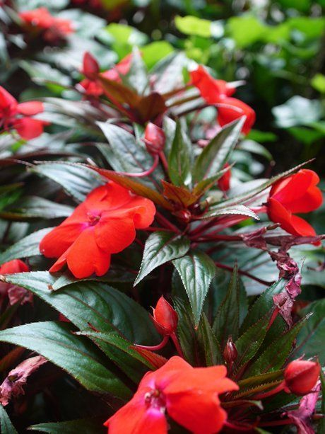 New Guinea impatiens on Park Ave. This may be your last week to grab a stem off the tender outdoor annuals before the cold has its way with them. New Guinea impatiens are one of my favorites, but they are not the only ones... - To All PlantTherapy Posts -