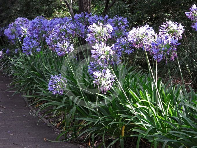 Agapanthus praecox | Lily of the Nile, Blue African Lily ...