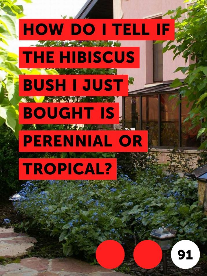 How Do I Tell If The Hibiscus Bush I Just Bought Is Perennial Or