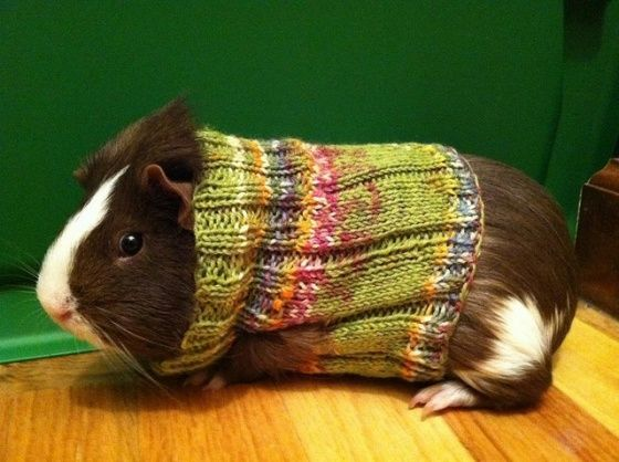 Guinea pigs in knitted sweaters!