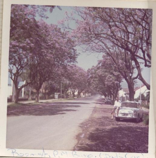 The jacaranda trees on Boom Street, Pietermaritzburg