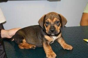 Bulldog Dachshund mix- dream dog