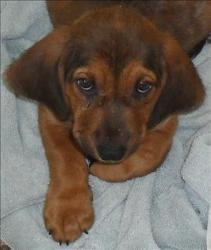 I am in love with this baby!!!               Max Grizzly is an adoptable Bloodhound Dog in Lexington, KY. Hi, my name is Max Grizzly, and I am happy and playful Bloodhound mix. I'm about two and a half months old. I looking for love and patience...
