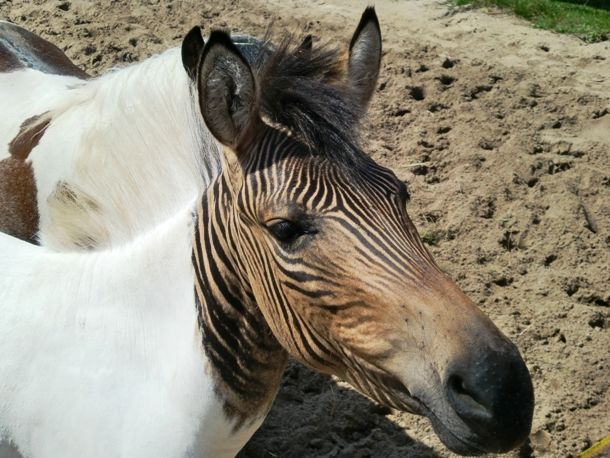Zebroid  Known by many other names such as zedonk, zorse, zebra mule, zonkey, and zebmule, the zebroid is the offspring of any cross between a zebra and any other equine (horse, donkey etc.). Bred since the 19th century, zebroids physically resemble their non-zebra parent, but are striped like a zebra. Yet, the stripes usually do not cover the wholly body of the animal.