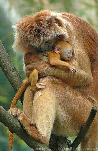 LOVE is beyond reason, words...or species  A mother Javan Lutung tenderly embraces her baby at the zoo in Budapest. The Javan Lutung lives only on the island of Java and in some Indonesian islands surrounding. (photo: AP)