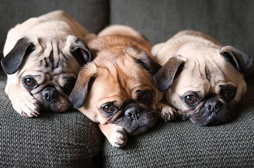 I am in Love with Pug's:))))))