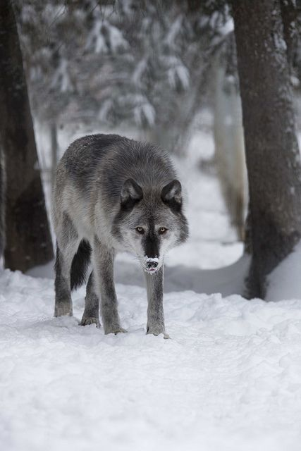 Wild wolf in Alaska by Doug Brown