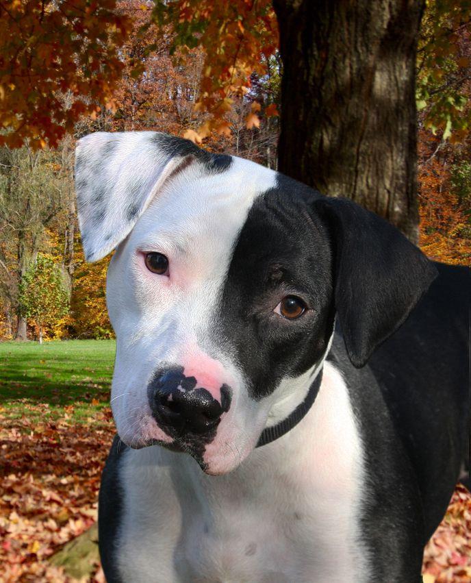Adopt Chloe On Pitbull Terrier Dogs Cute Animals