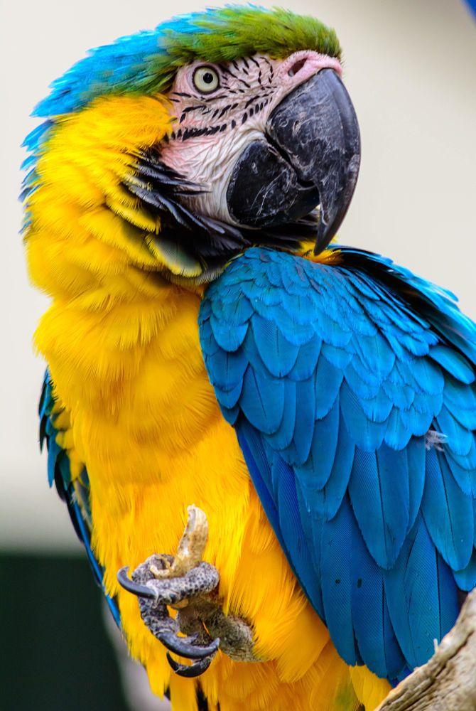 Parrot - Beautiful blue & yellow macaw.