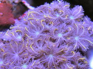 LIAM'S RAINBOW Cloves Palythoa Zoanthids Ricordea Live Coral Saltwater Aquarium
