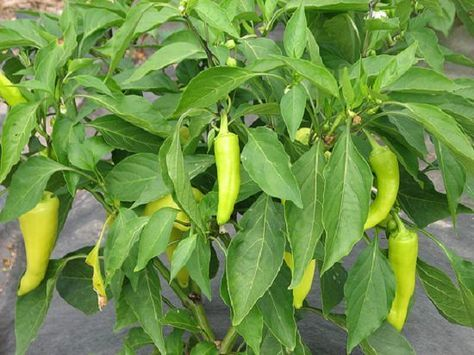 Learn how to grow banana peppers. Growing banana peppers is rewarding. It is productive, relatively easy to care for and grow and have a few basic requirements in order to thrive.