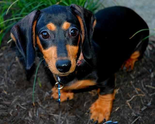 Rufus, Standard Dachshund puppy - Anne-Marie Clark Photography