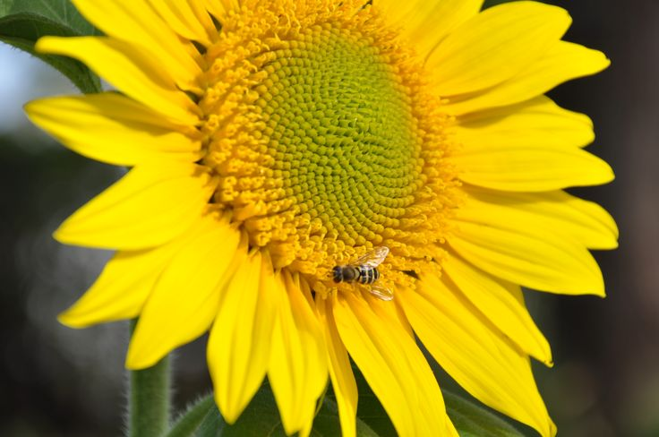 Sunflower with a fly