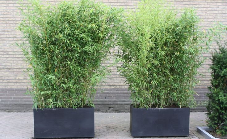 Phyllostachys aurea containers