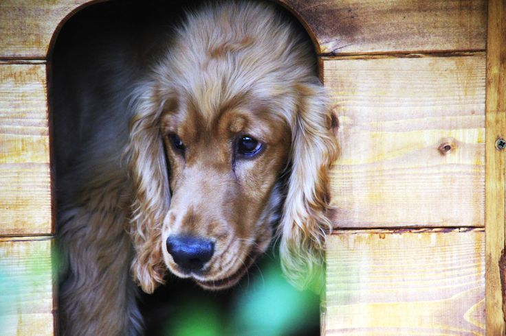#crusoe #cockerspaniel #dog #story