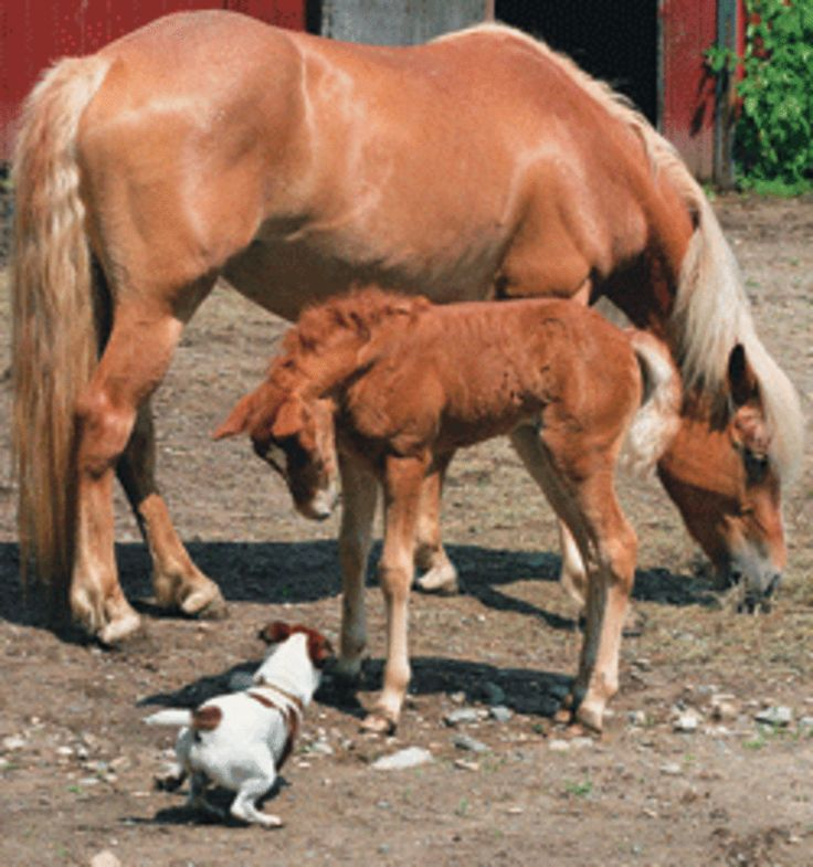 Haflinger Horse Breed. Whether your interest is trail riding, driving, or simply owning a delightful family horse that you can trust with your children, Haflingers do it all with a smile.