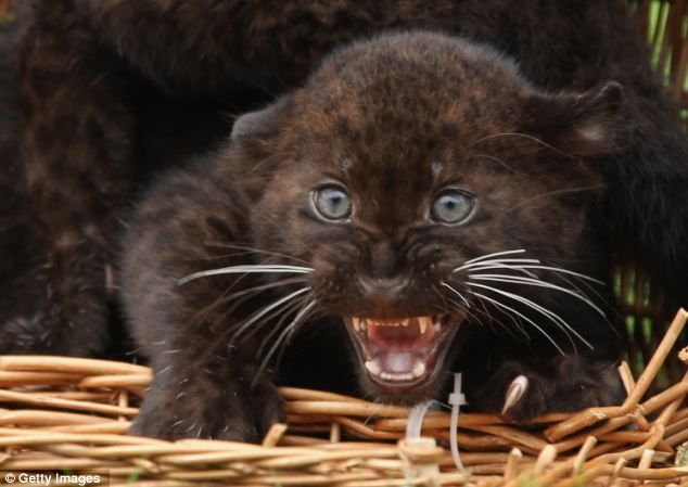 Elegant Twin panther cubs are instant hit with the public at their zoo debut