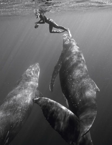 swimming with whales: Bryant Austin, Gentle Giant, Buckets Lists, Beautiful, Humpback Whales, Hippopotamus Amphibius, Photo, Dreams Coming True, Animal