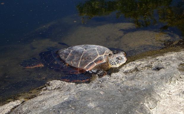 Galápagos é um dos lugares de maior concentração de tartarugas-verdes-do-Pacífico. Elas utilizam as ilhas para cavar buracos e enterrar seus ovos. Os locais de desova são demarcados com bastões para que os turistas não destruam a futura geração de filhotes. Infelizmente, a coleta ilegal de ovos, a pesca predatória e a poluição vêm fazendo a população dos quelônios diminuir: http://abr.io/4g3r