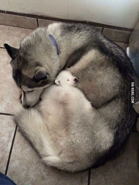 Mama husky hugs her pup to sleep