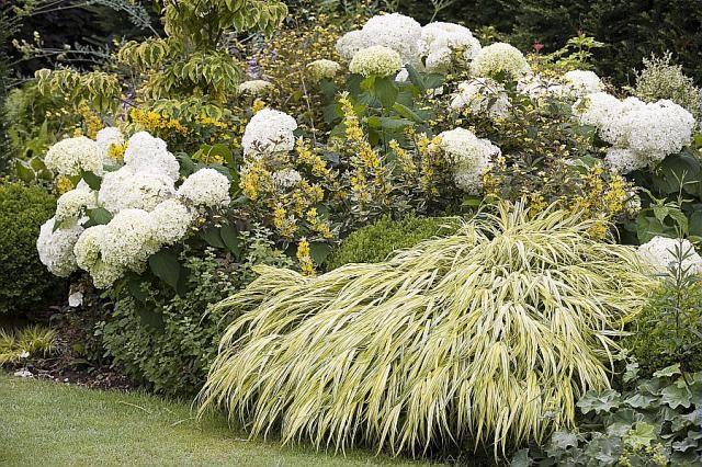 Hydrangea arborescens 'Annabelle', Hakonechloa macra 'Aureola', Cornus 'Sunset' et Lysimachia punctata 'Alexander' aux Jardins du Pays d'Auge, photo Boucourt Franck / Cap-photos