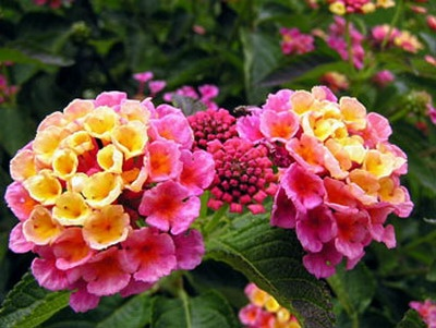 this multi-colored Lantana makes a pretty border in your garden (the flowers are only about an inch across)