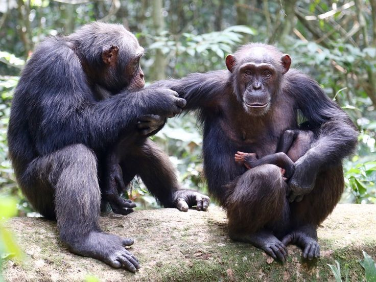 Chimps in the Taï National Park are dying at worrying rates from anthrax caused by a novel bacteria called Bacillus cereus biovar anthracis. Credit: MPI f. Evolutionary Anthropology/ L. Samuni.
