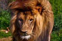 South Africa - Lion - Jukani Wildlife Sanctuary, Plettenberg Bay, South Africa