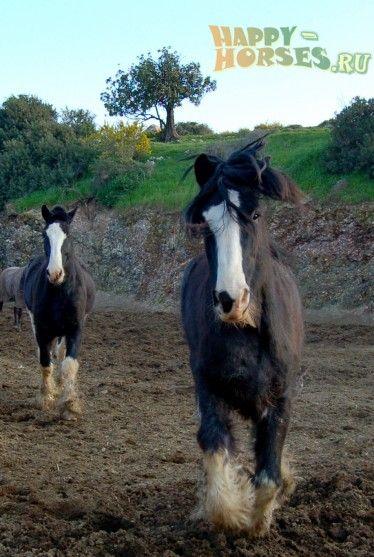Бегущие лошади породы Шайр Лошади шайрской породы были выведены в XVIII столетии в Англии посредством многоэтапного скрещивания фламандских и голландских жеребцов с местными кобылами. В то время шайры разводились на всей территории Англии, в частности, в Норфолке, Линкольне, Хантингтоне, Кембридже, Дерби, Ноттингеме и др.