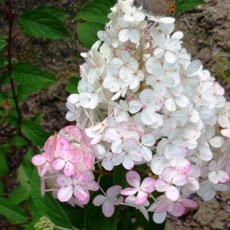 Hortensia Vanille Fraise ® 'Renhy'