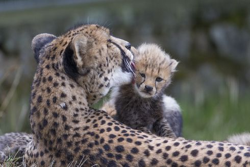 Le Safari de Peaugres fête le premier anniversaire de Zoé, premier guépard sauvé par l'adoption