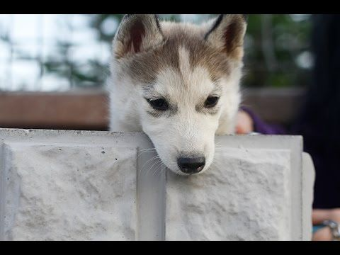 Cute Husky Puppy Wolfie Growing Up