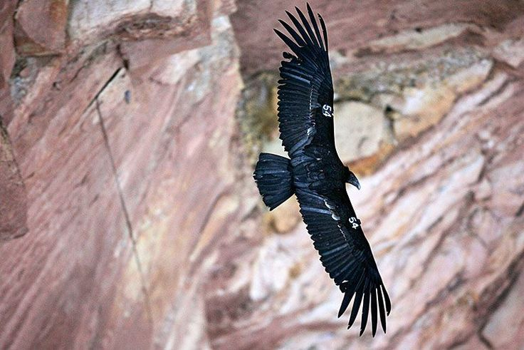 Some critically endangered California condors carry genes that are causing fatal dwarfism in their offspring. Scientists are working on a genetic test to help save the species.