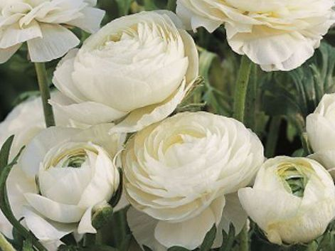 Лютик белый (Ranunculus White) 10шт