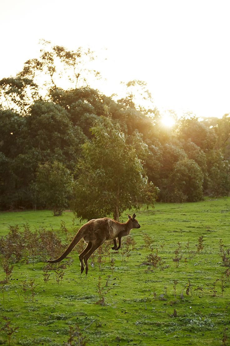 A western grey kangaroo bounds through the Kelly Hill Conservation Area on—where else?— Kangaroo Island.