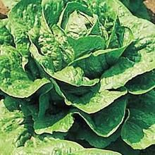 Lettuce Parris Island Vegetable Seeds