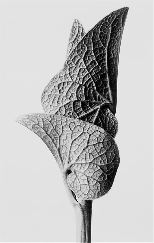 The simplicity of this plants leaves are beautiful. Aristolochia Clematitis, photograph by Karl Blossfeldt (ca. 1928)