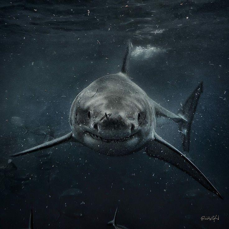 Requin blanc - Whiteshark - perfection