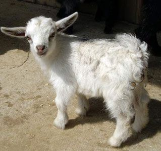 RSA Zing | Wether | Pygora Goat | Rainbow Spring Acres Home of RSA Pygmy Goats