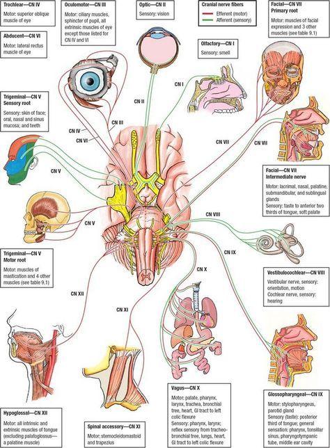 Cranial Nerves Mnemonic Song ~ MedchromeTube - Best Medical Videos ...